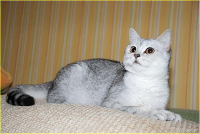 Шотландская прямоухая кошка  33 фото  kisasu