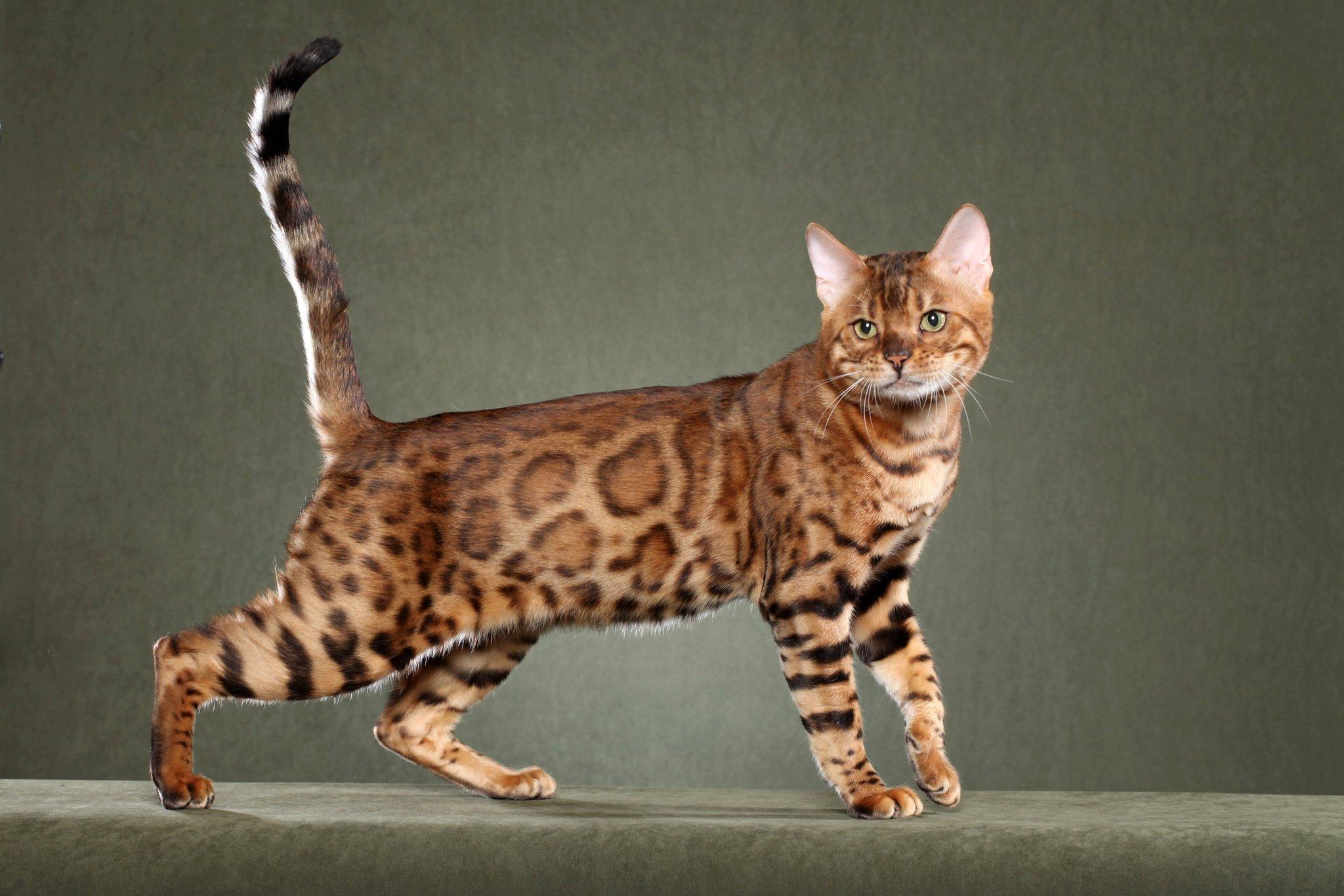https://1000kotov.ru/wp-content/uploads/2015/03/Cool-Bengal-Cat-Image-04-Animal-Wallpaper.jpg