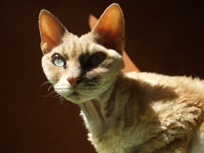 Devonrex_cat
