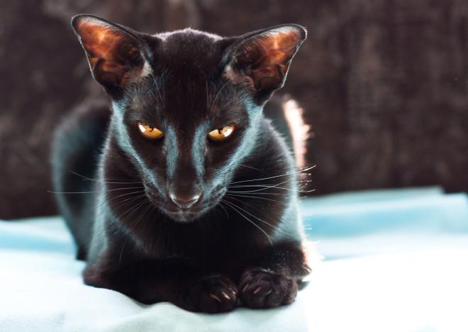 Коты породы ориентал