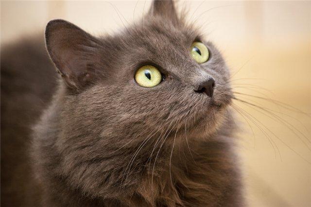 Фото котов породы нибелунги