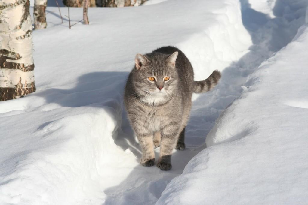 Фото котов русской породы