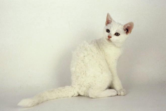 Как назвать лысого кота